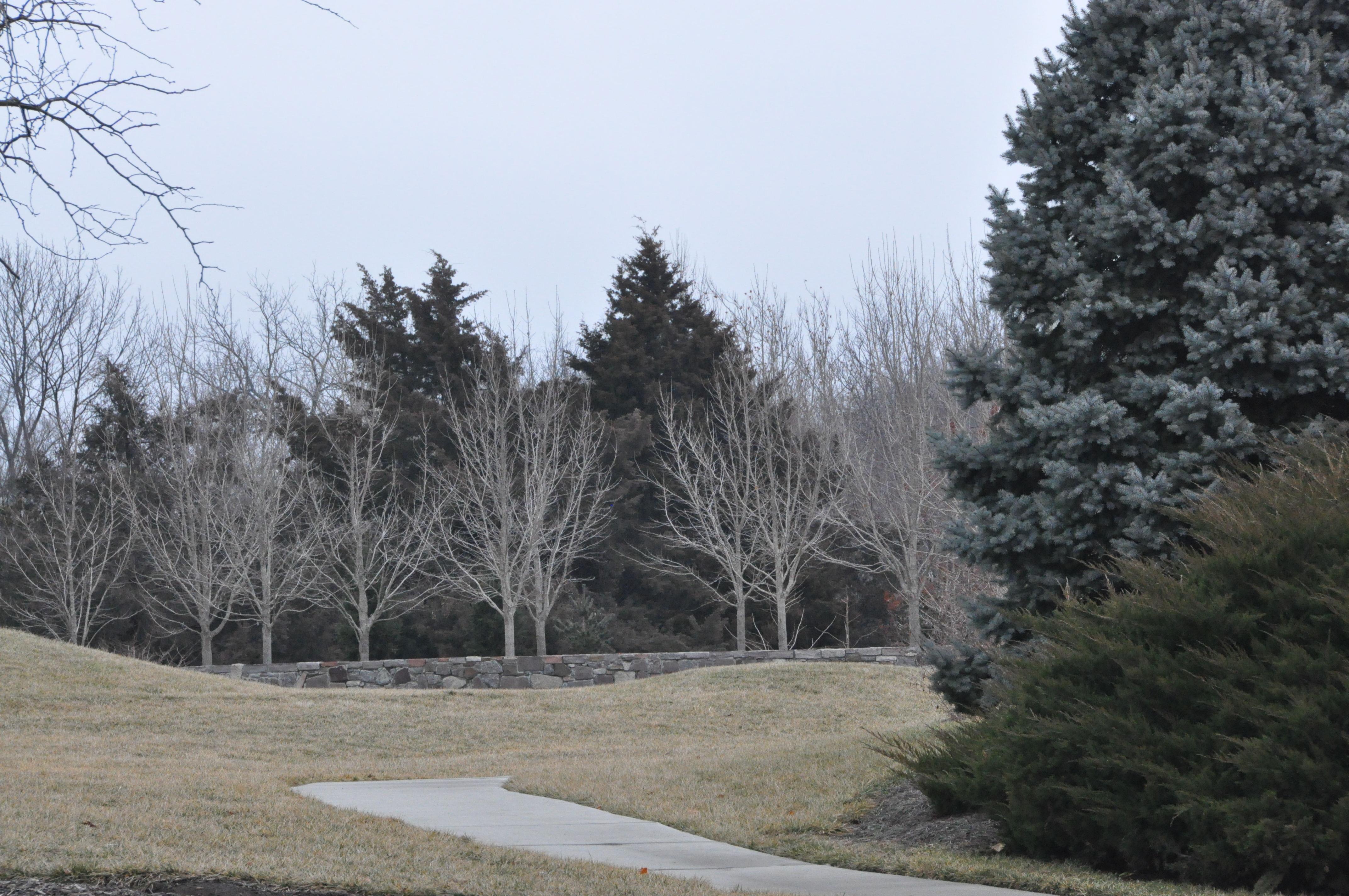 row of trees against evergreens