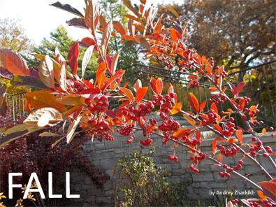 Fall red chokeberry