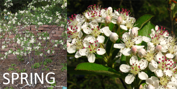 Spring red chokeberry