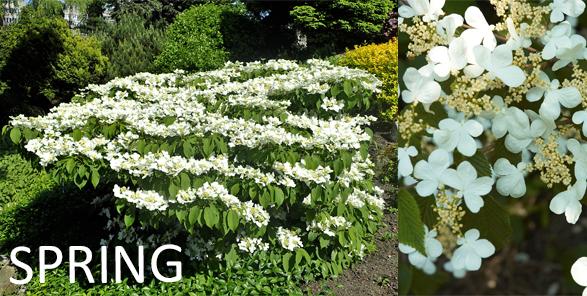 Double file Viburnum spring