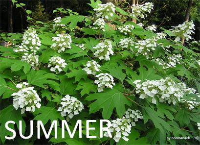 Hydrangea summer
