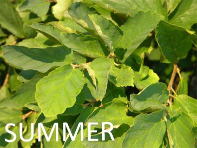 Witch hazel summer