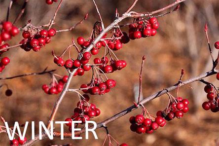 Winter red chokeberry