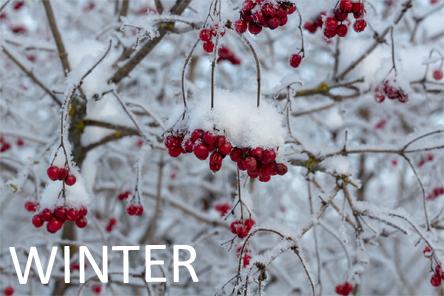 Viburnum winter
