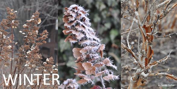 hydrangea winter