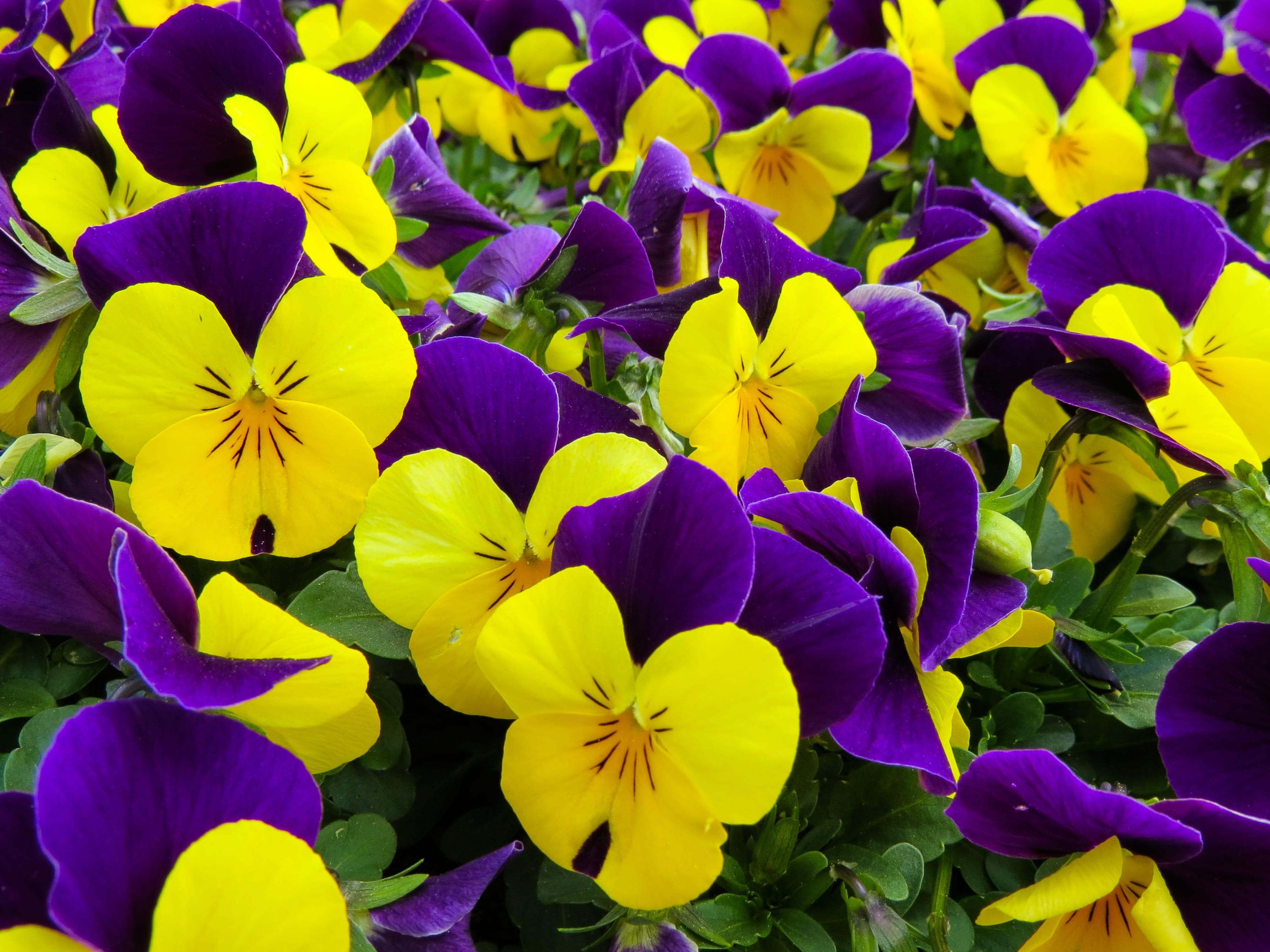 violas yellow and purple
