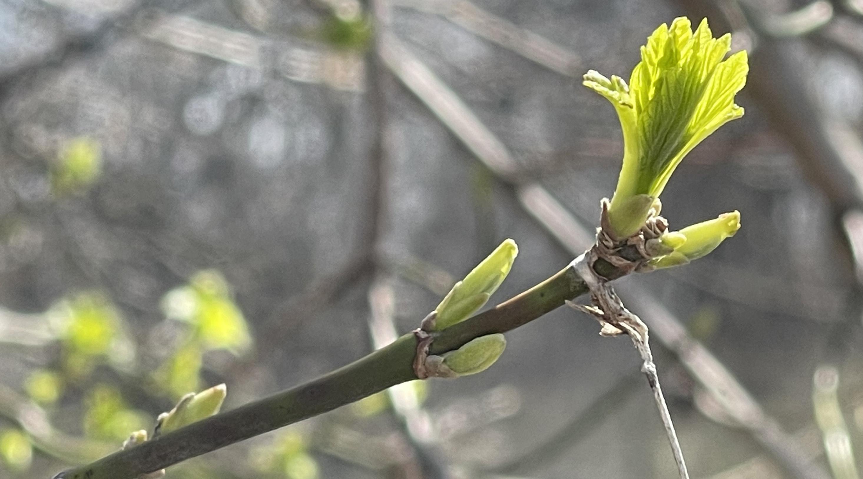 bud emerging