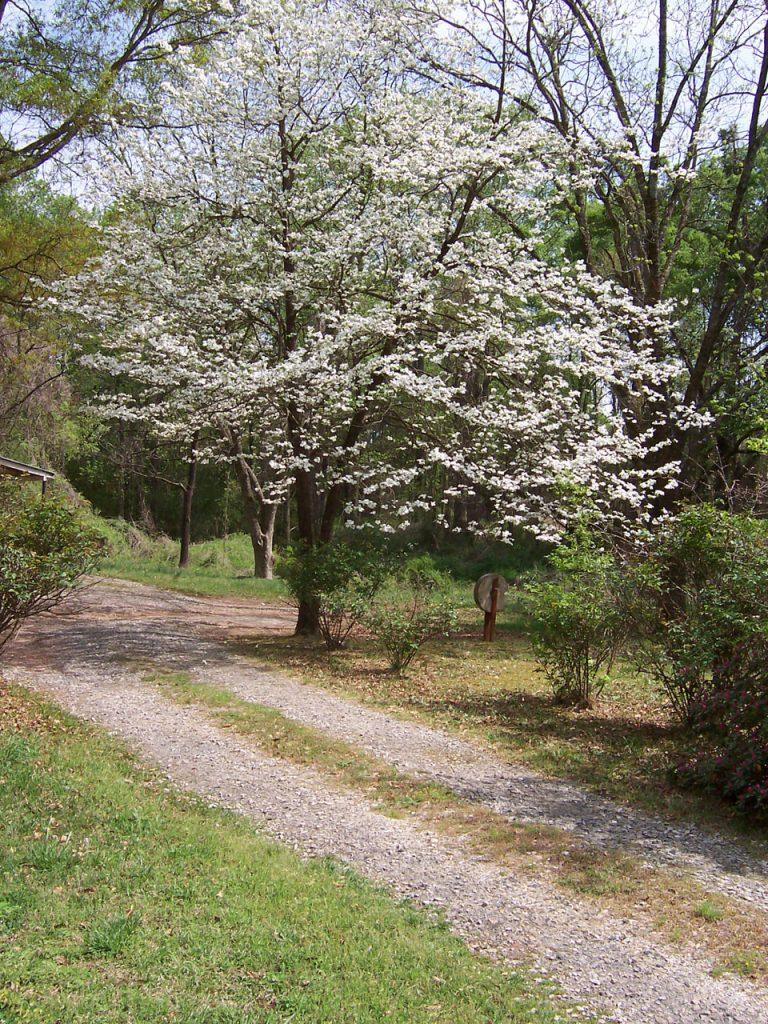 dogwood tree in distance