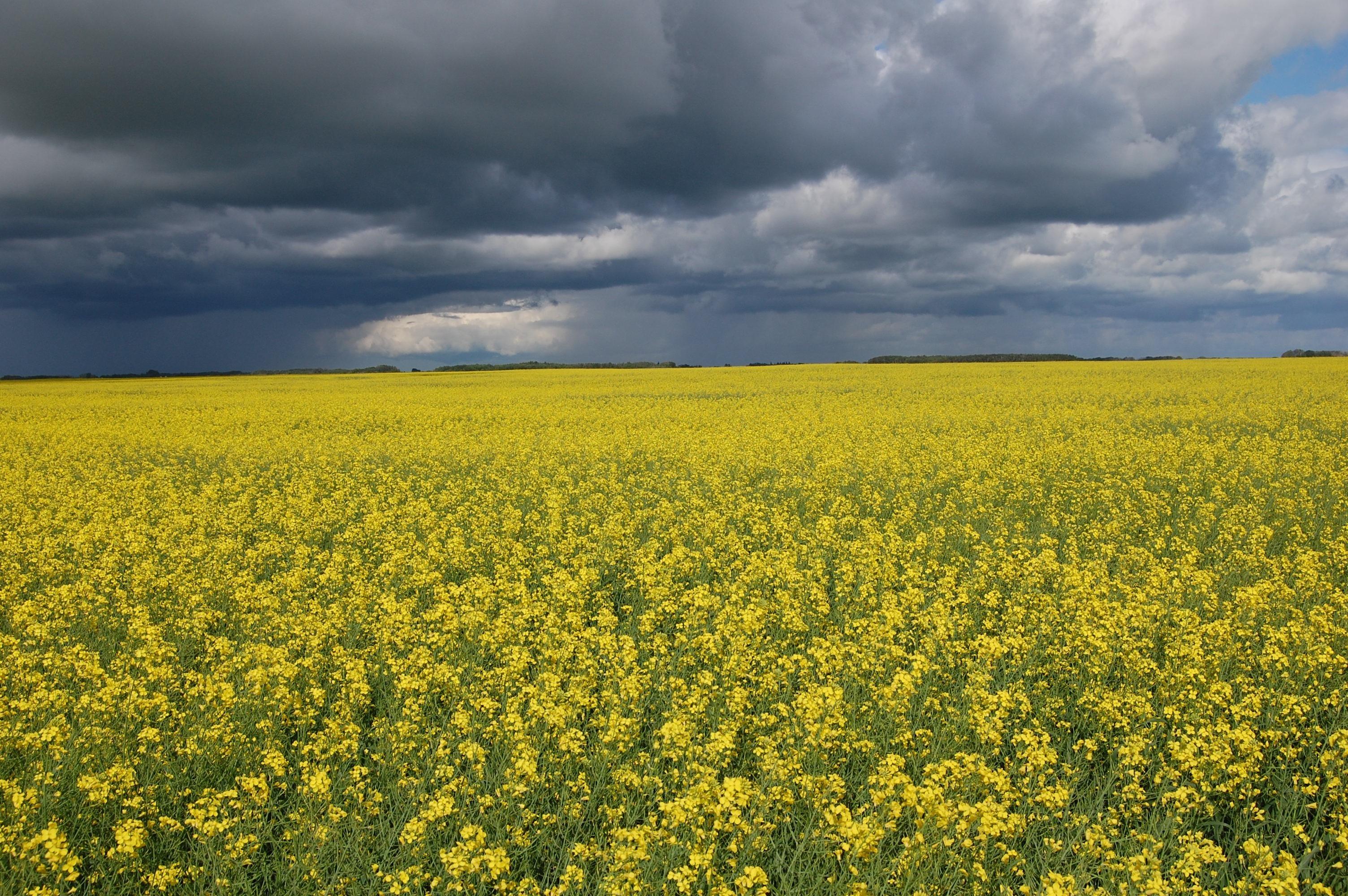 grey skies yellow flowers