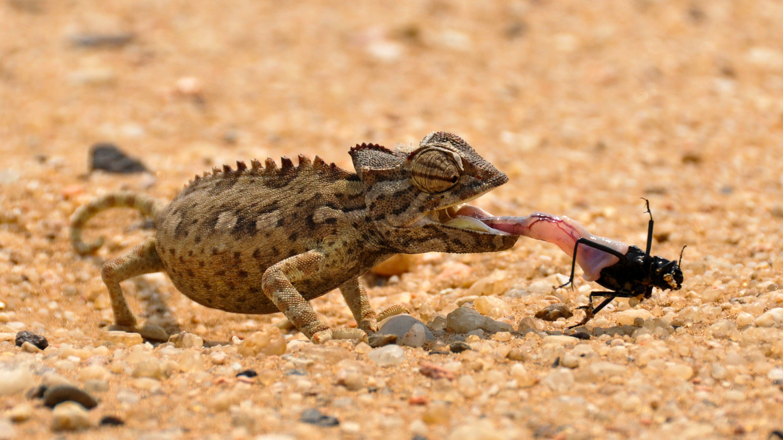 lizard eating insect