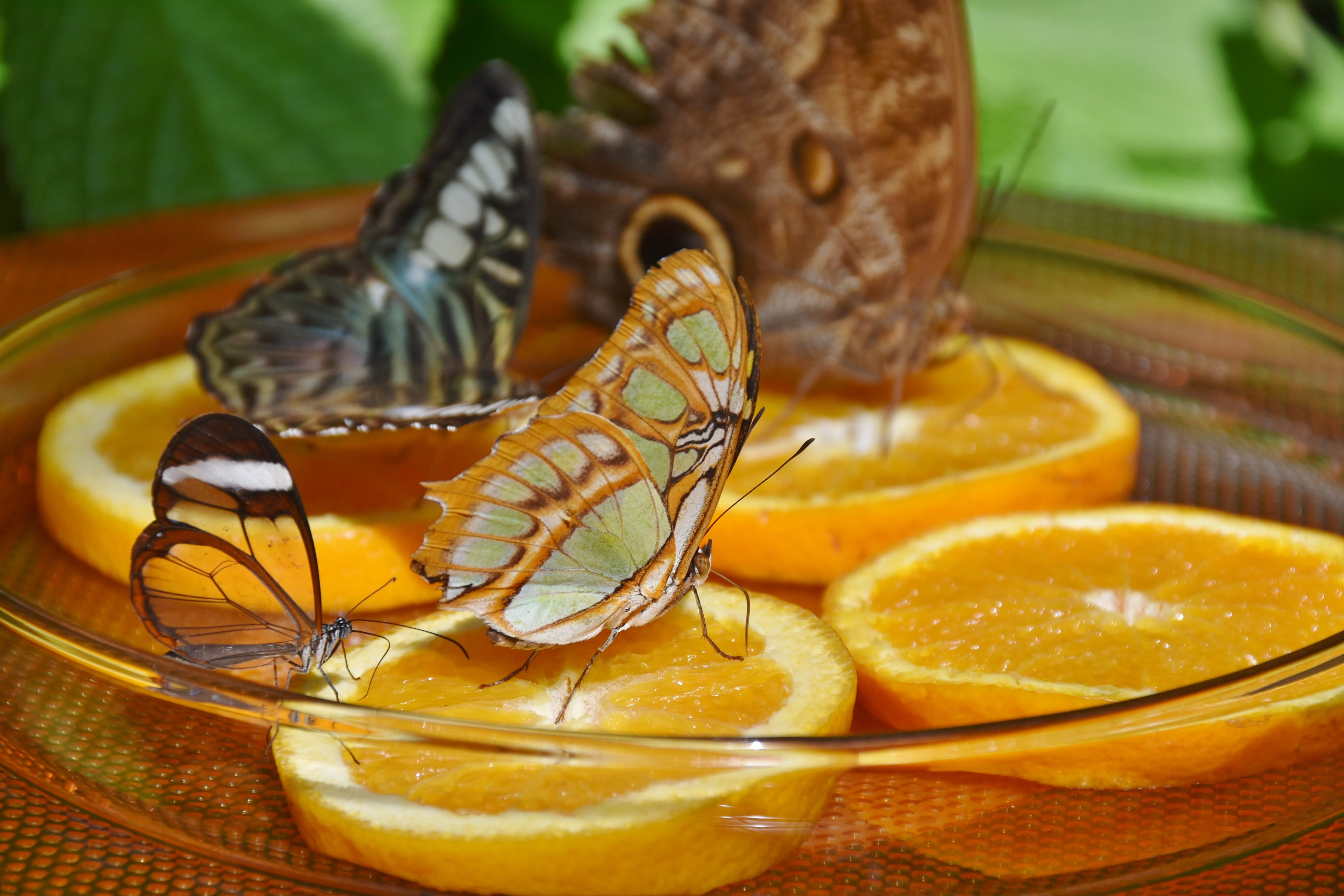 Butterflies on oranges