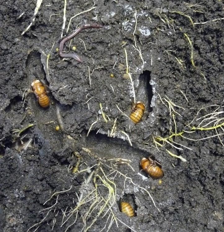 cicada underground