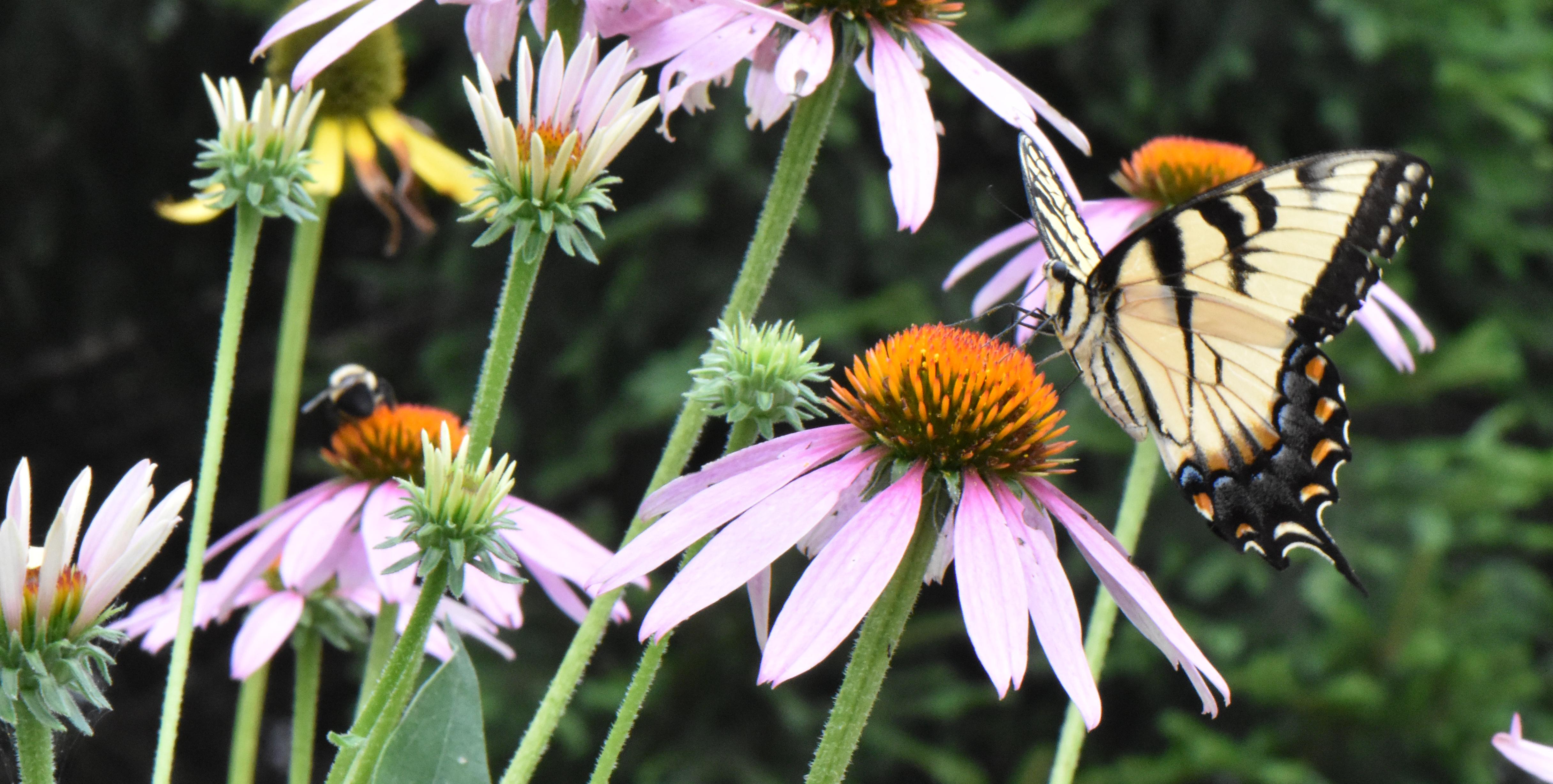 Swallowtail on purple coneflower