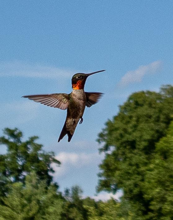 hummer in flight
