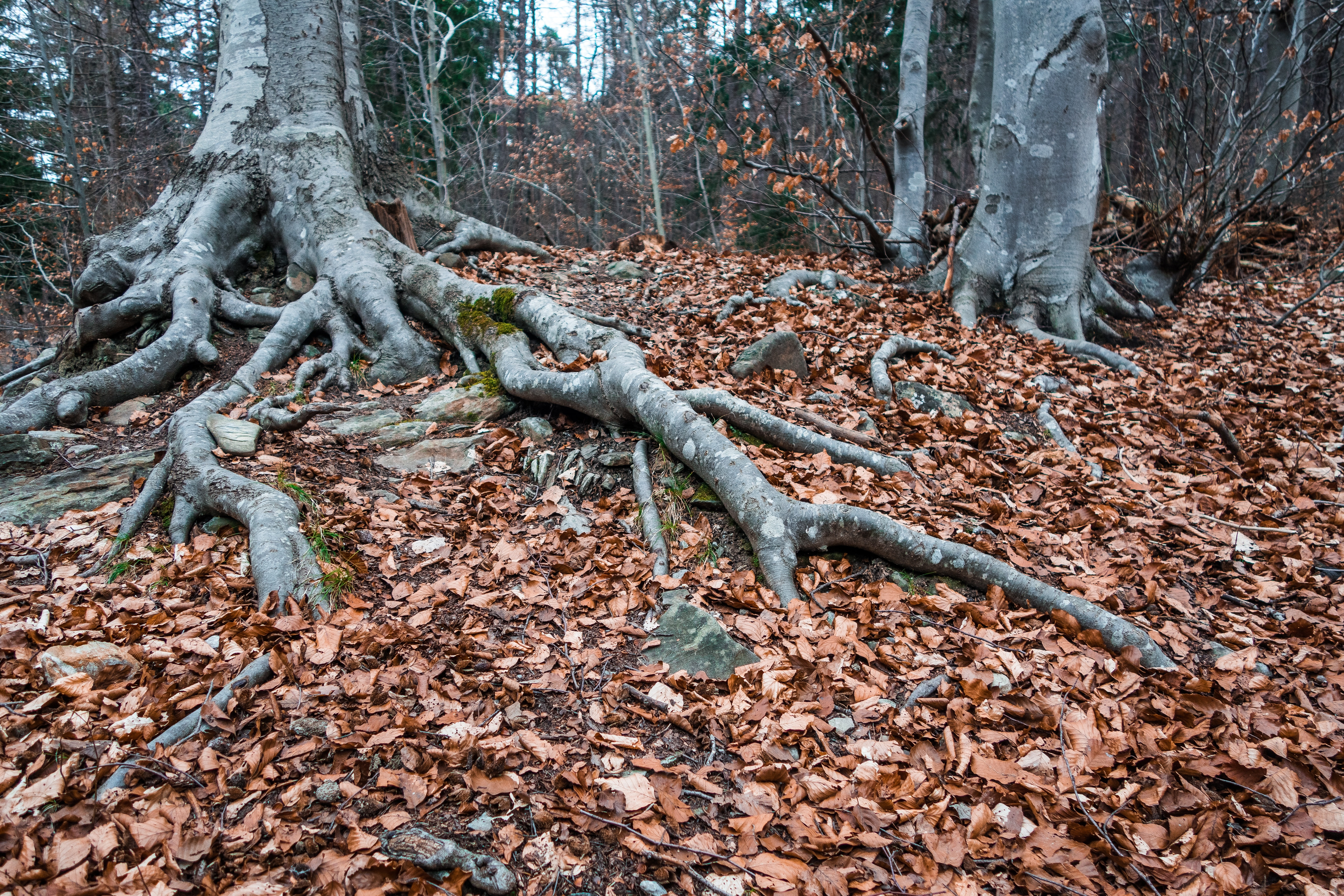 tree roots and leaf litter