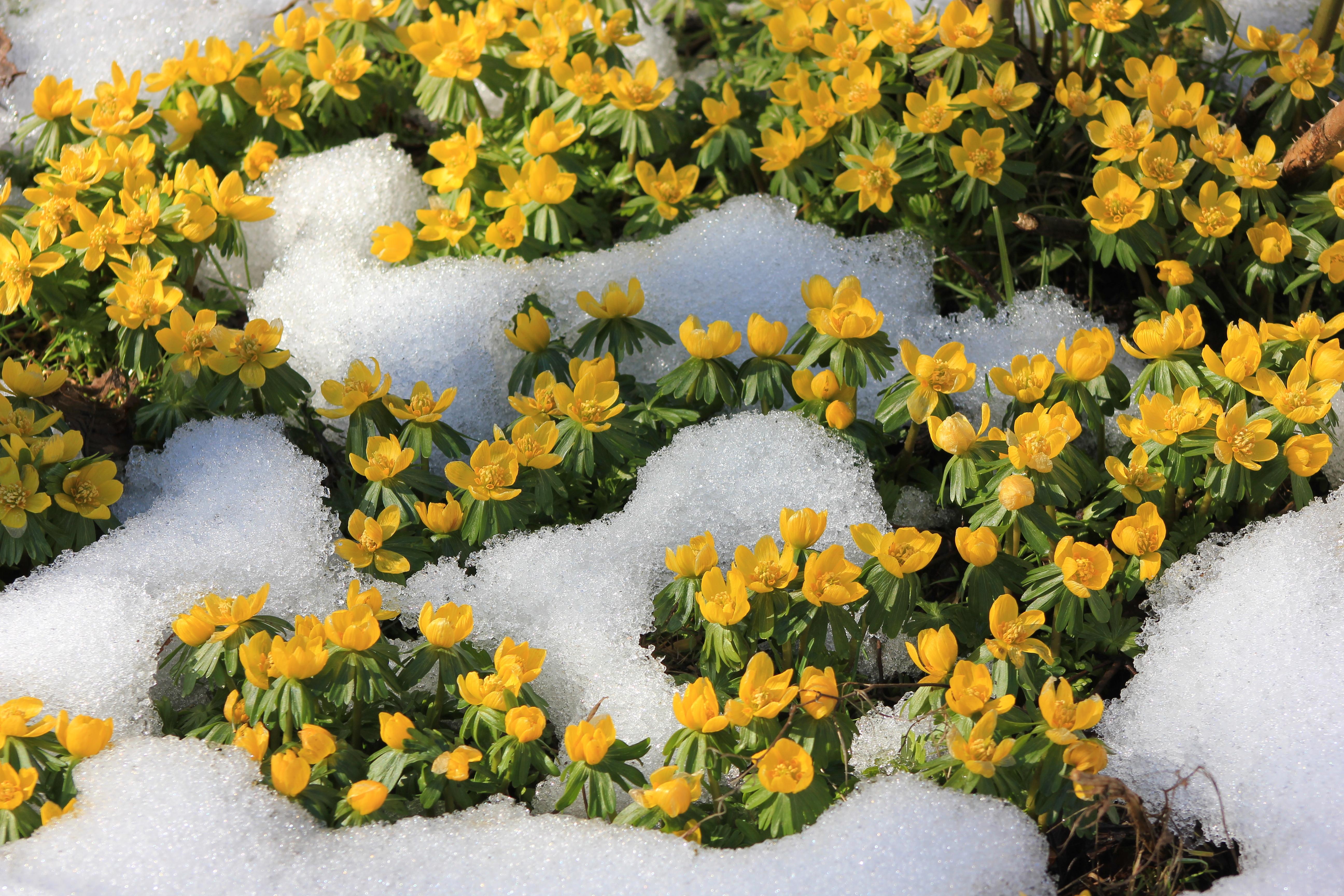 winter aconites
