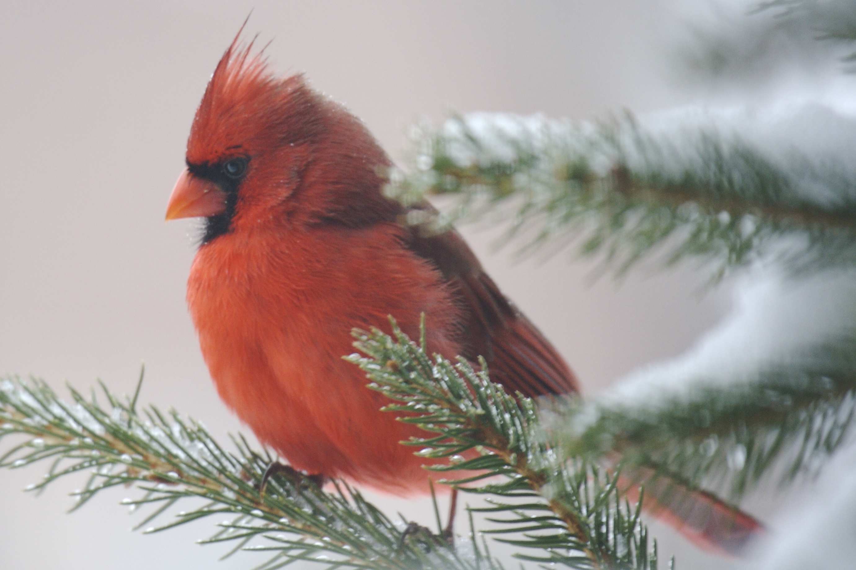 A brilliant red cardinal taking refuge in an evergreen.