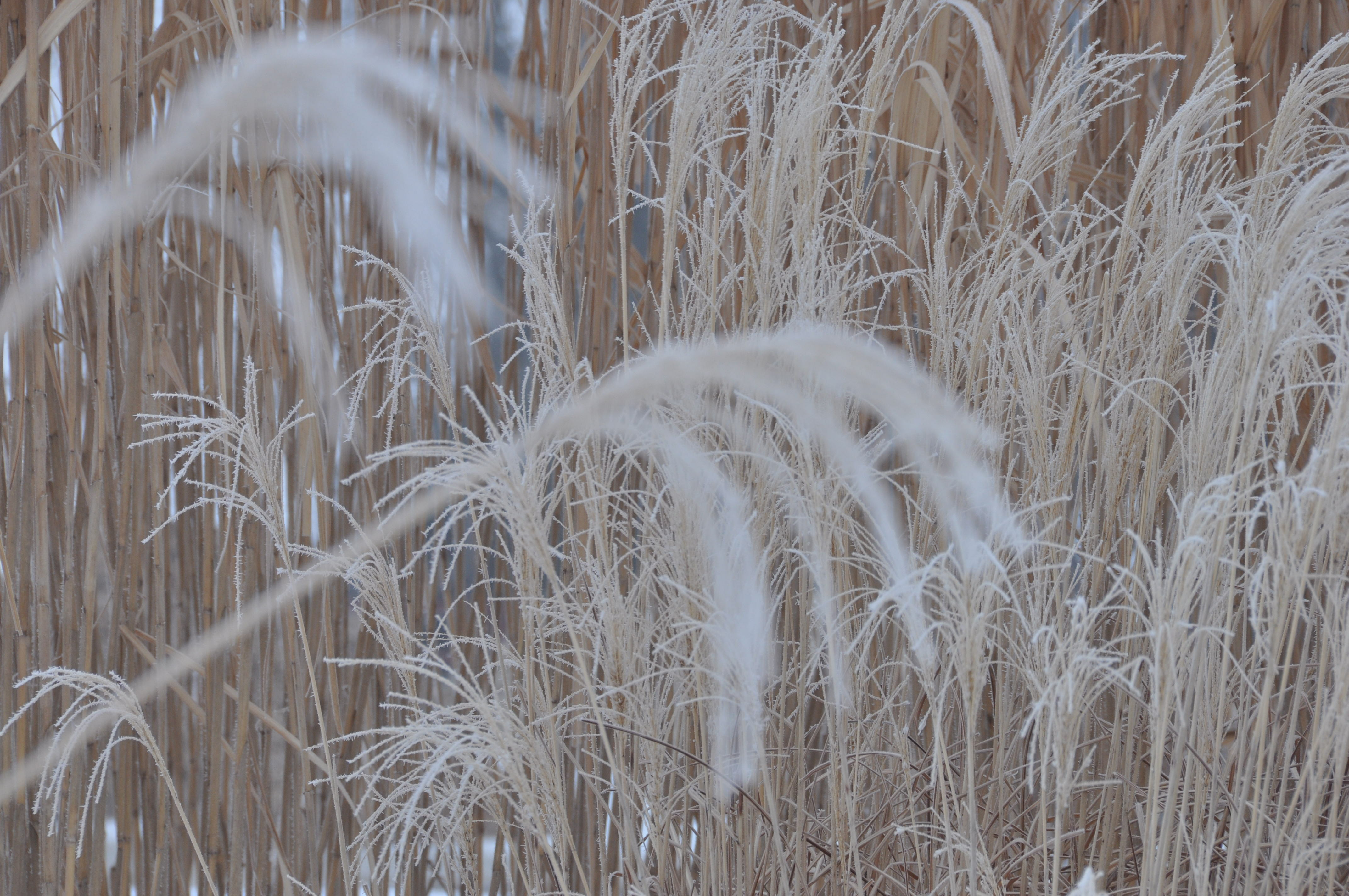 Frost coated grasses add an ethereal element.