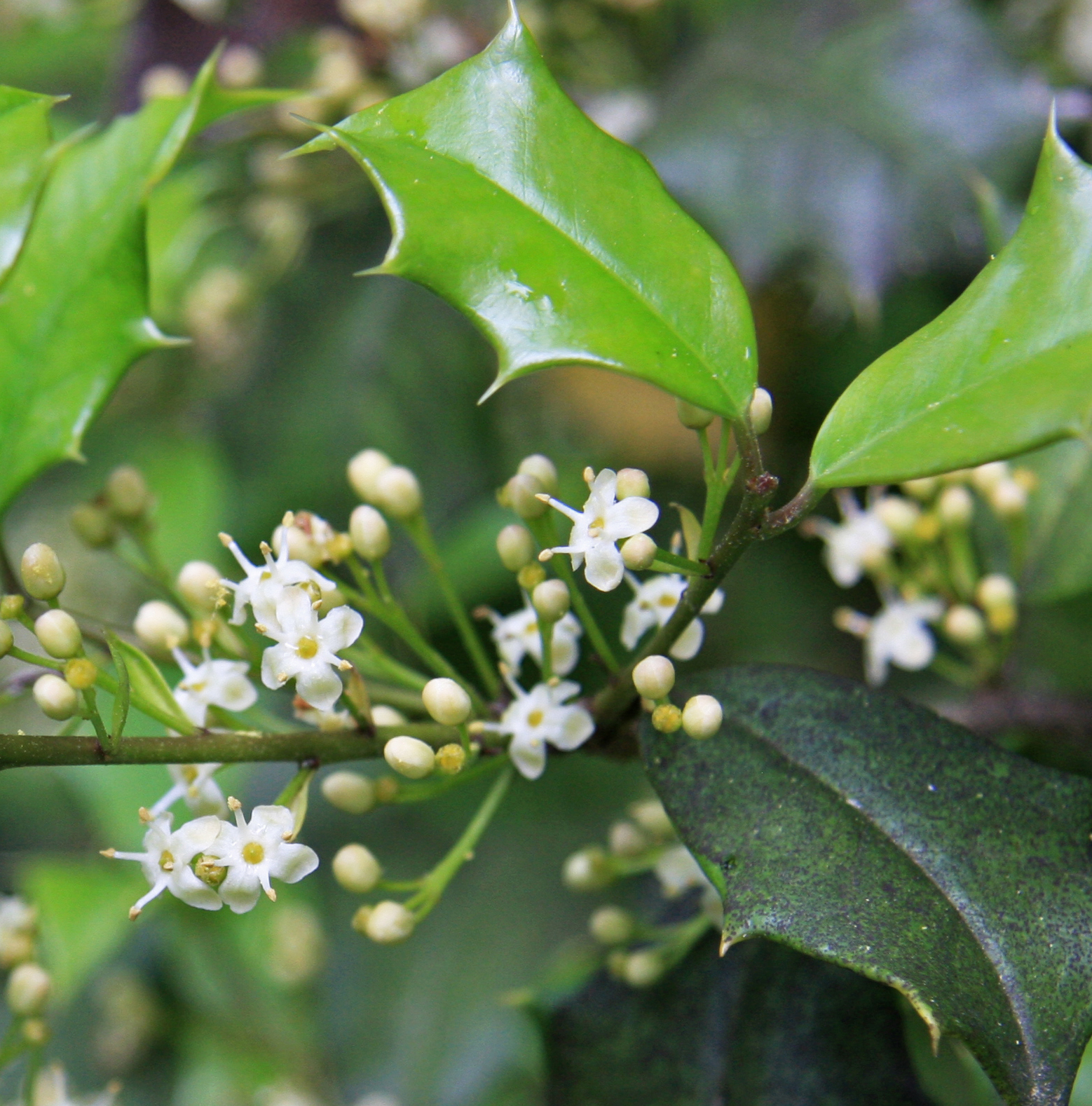 Holly is a broadleaf evergreen, but is not a conifer.