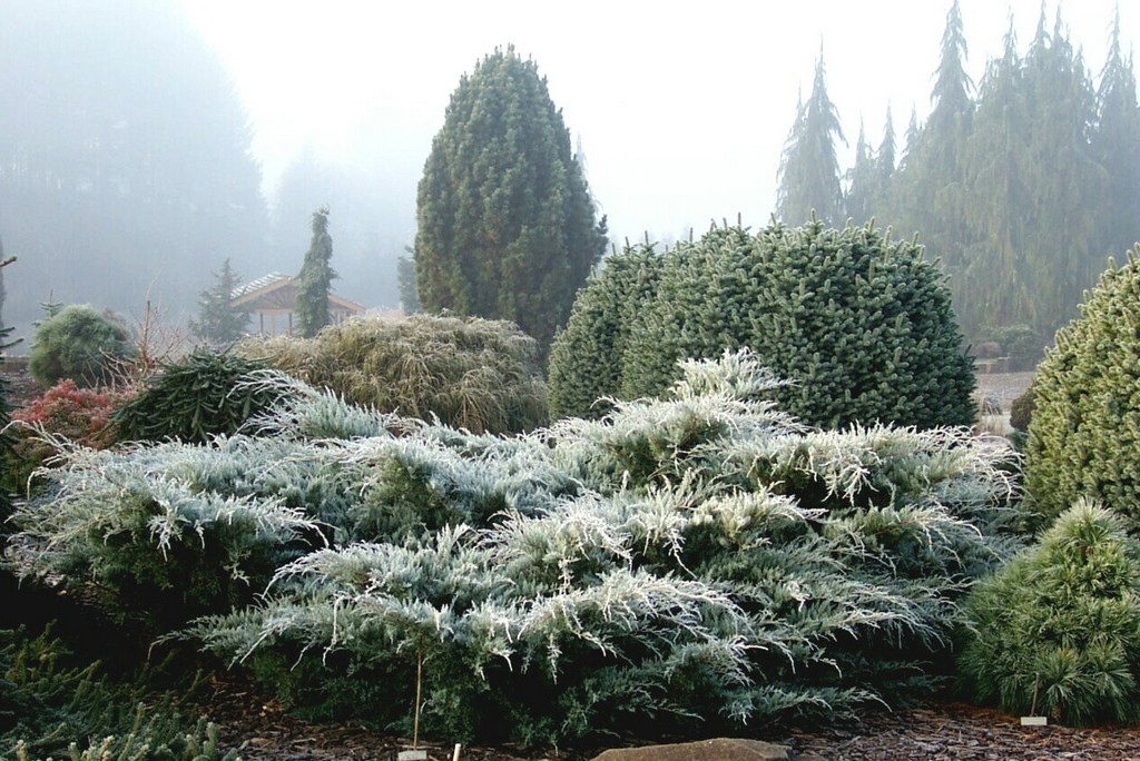 Junipers do well in the Midwest