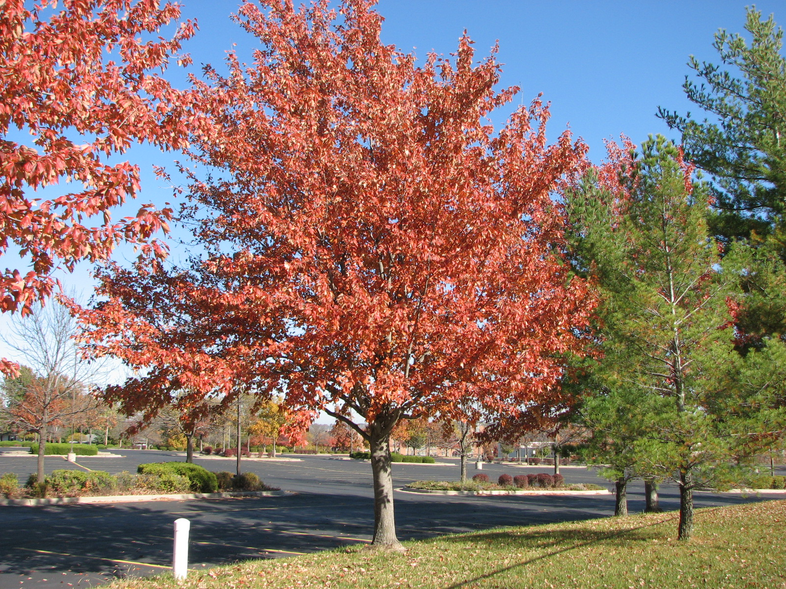 A Red Sunset Maple is a great tree for residential or commercial use.