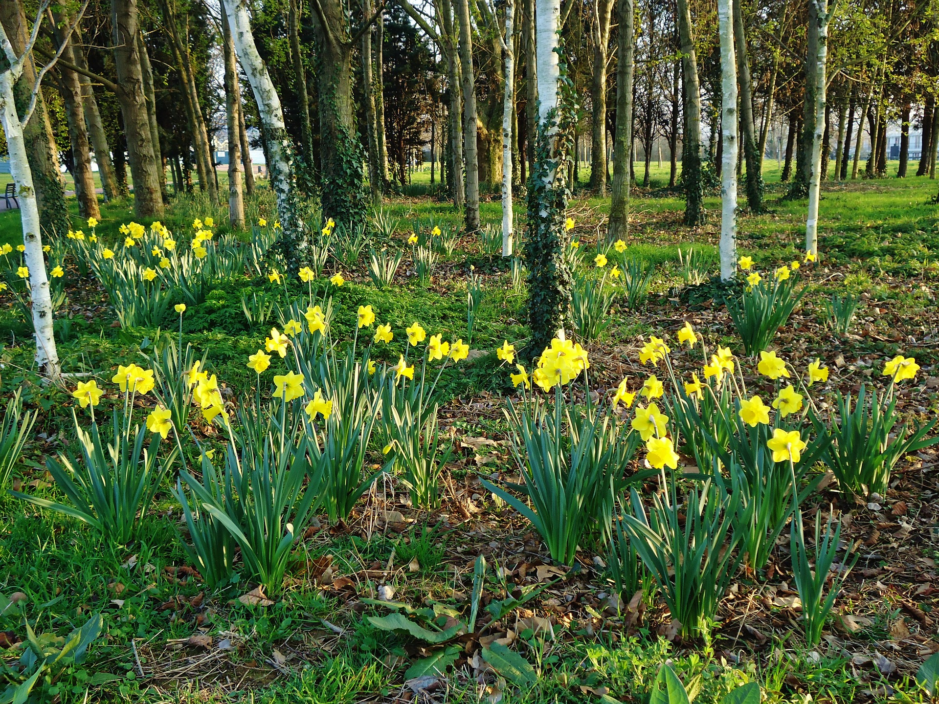 Daffodils planted under trees