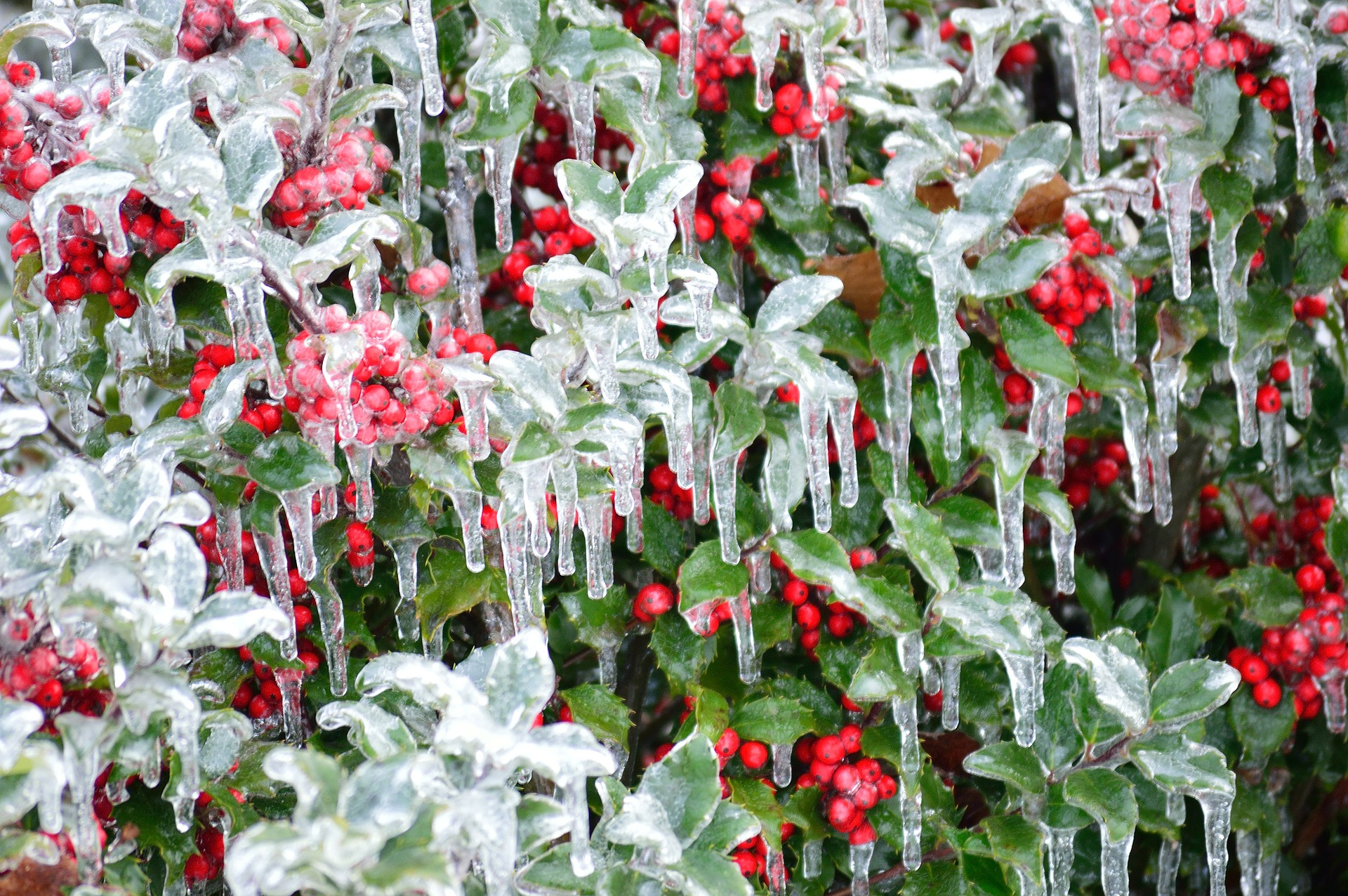 Wind and ice can damage tender evergreens.