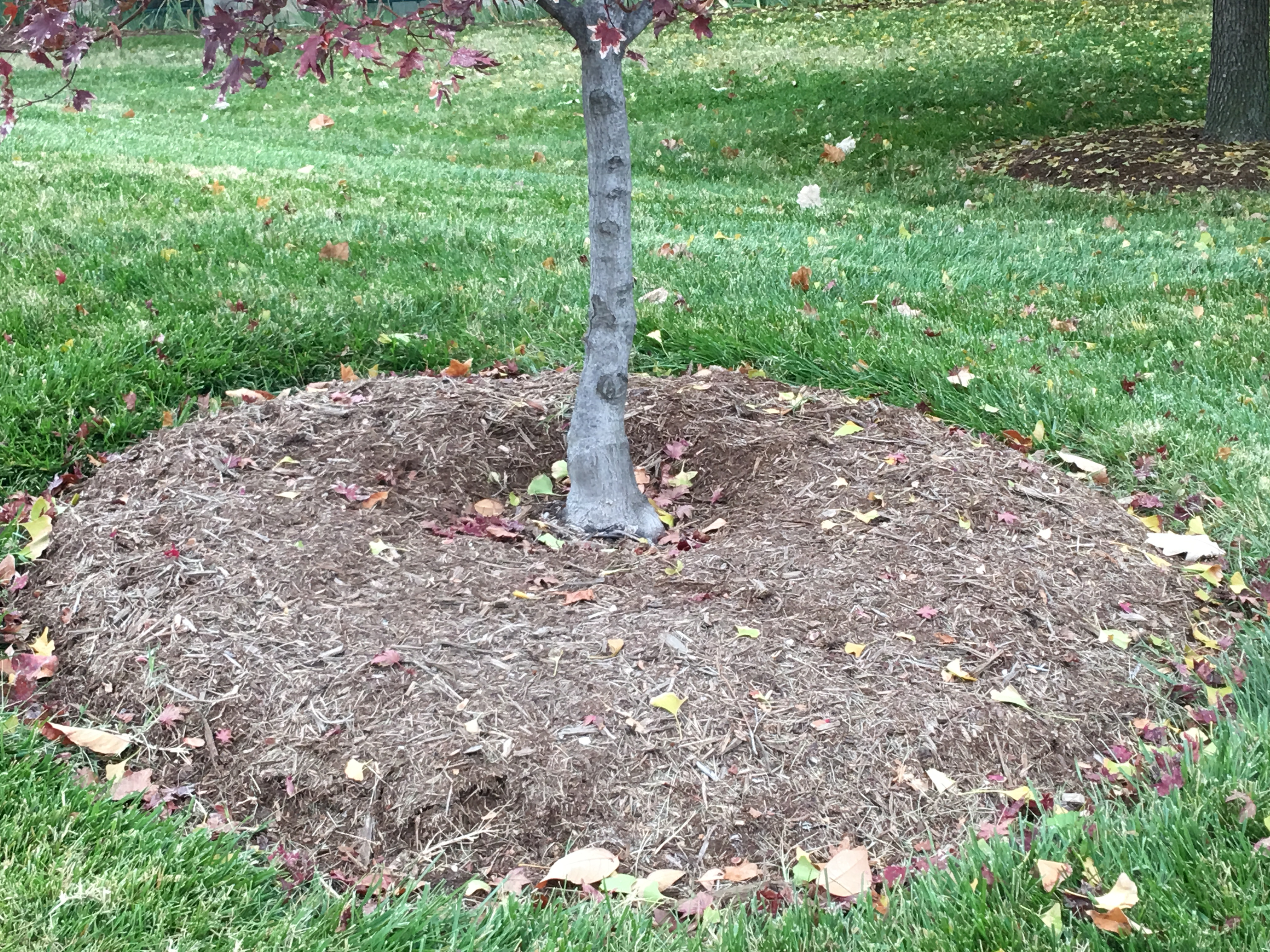 Young tree with properly applied mulch.