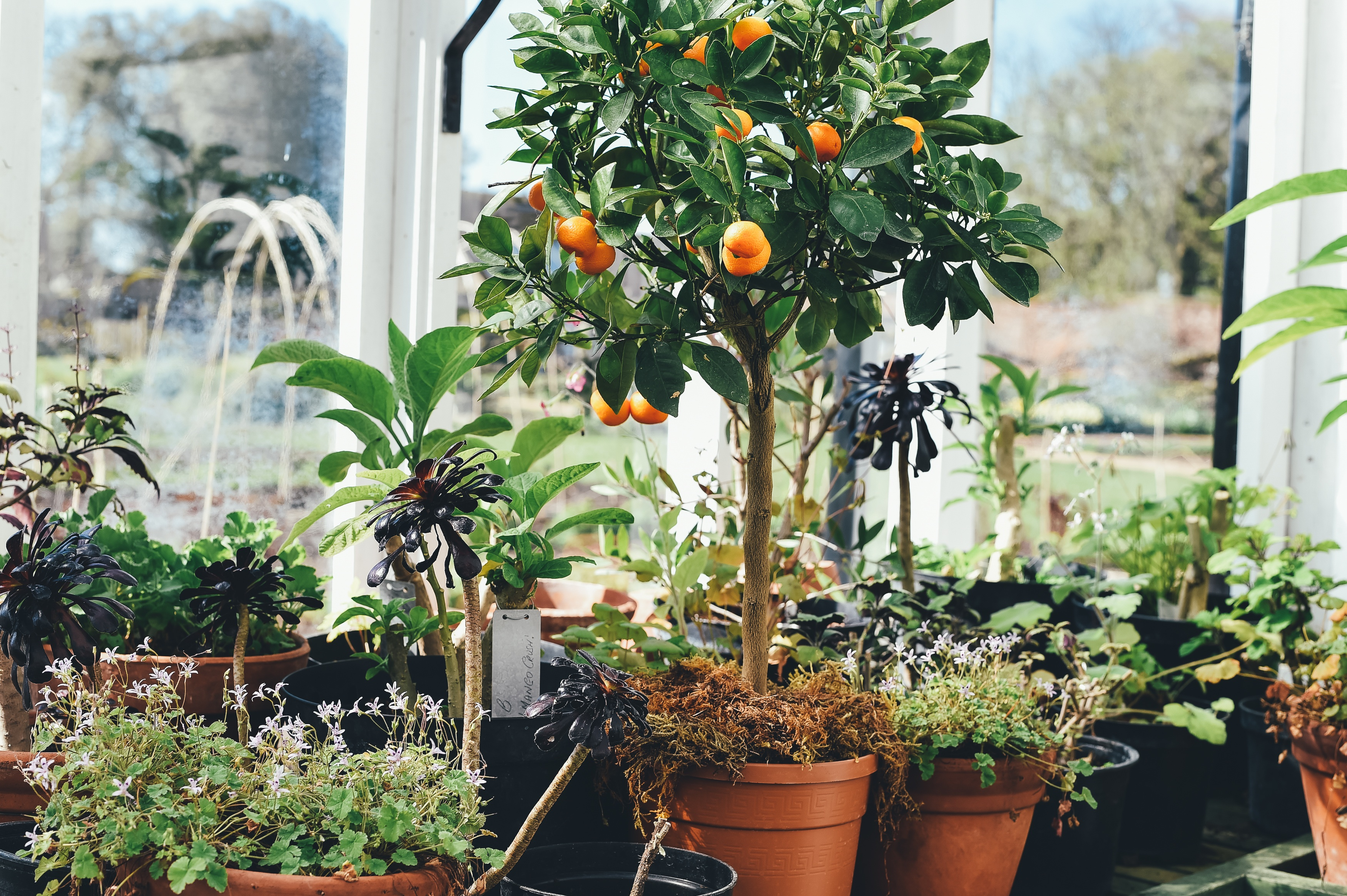 Strong light, high humidity and adequate water are keys to healthy citrus plants.