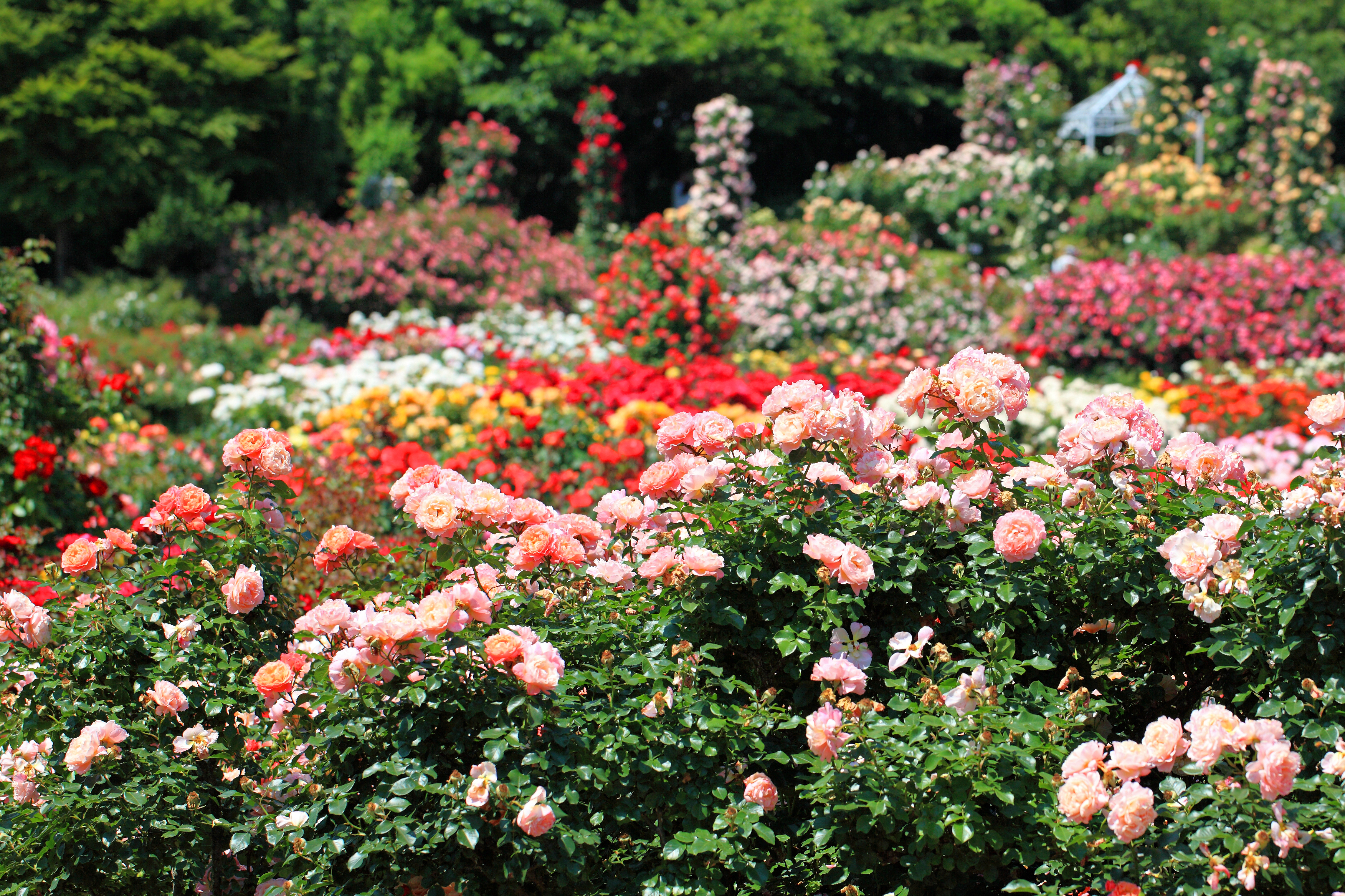 Your own rose garden can provide you with bouquets to fill every room of your home.