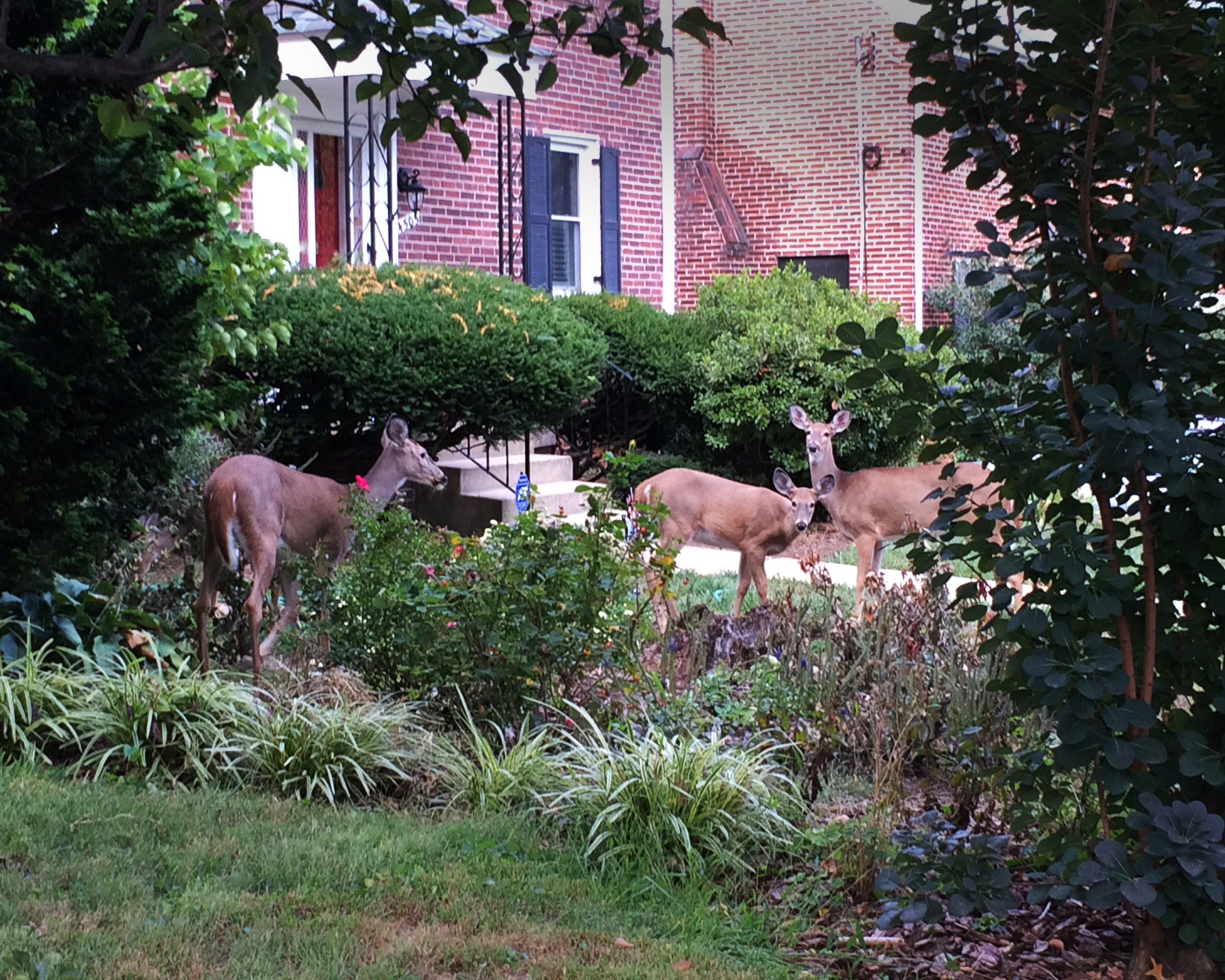 Urban deer become very comfortable in their environment.