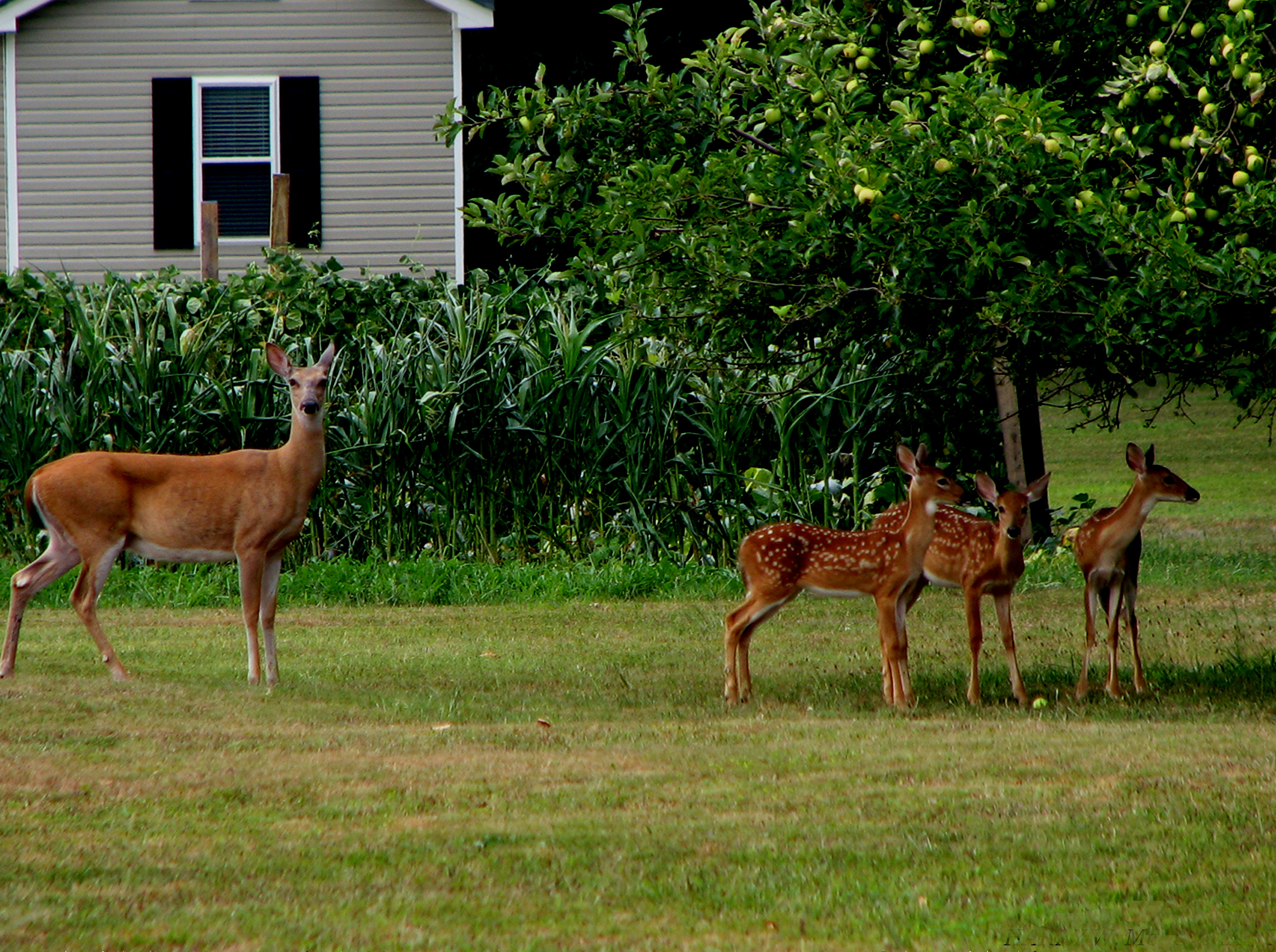 Watching deer out the window can be fun, until they devour your garden.