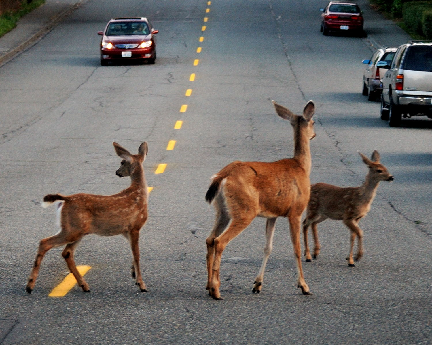 In Missouri alone there were over 4,000 vehicular accidents involving deer.