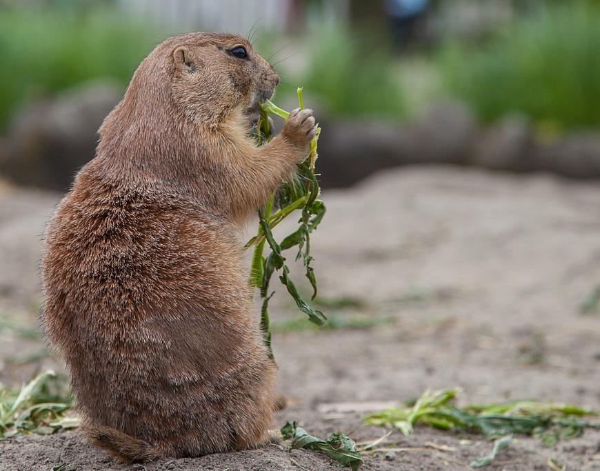 Woodchucks have voracious appetites.
