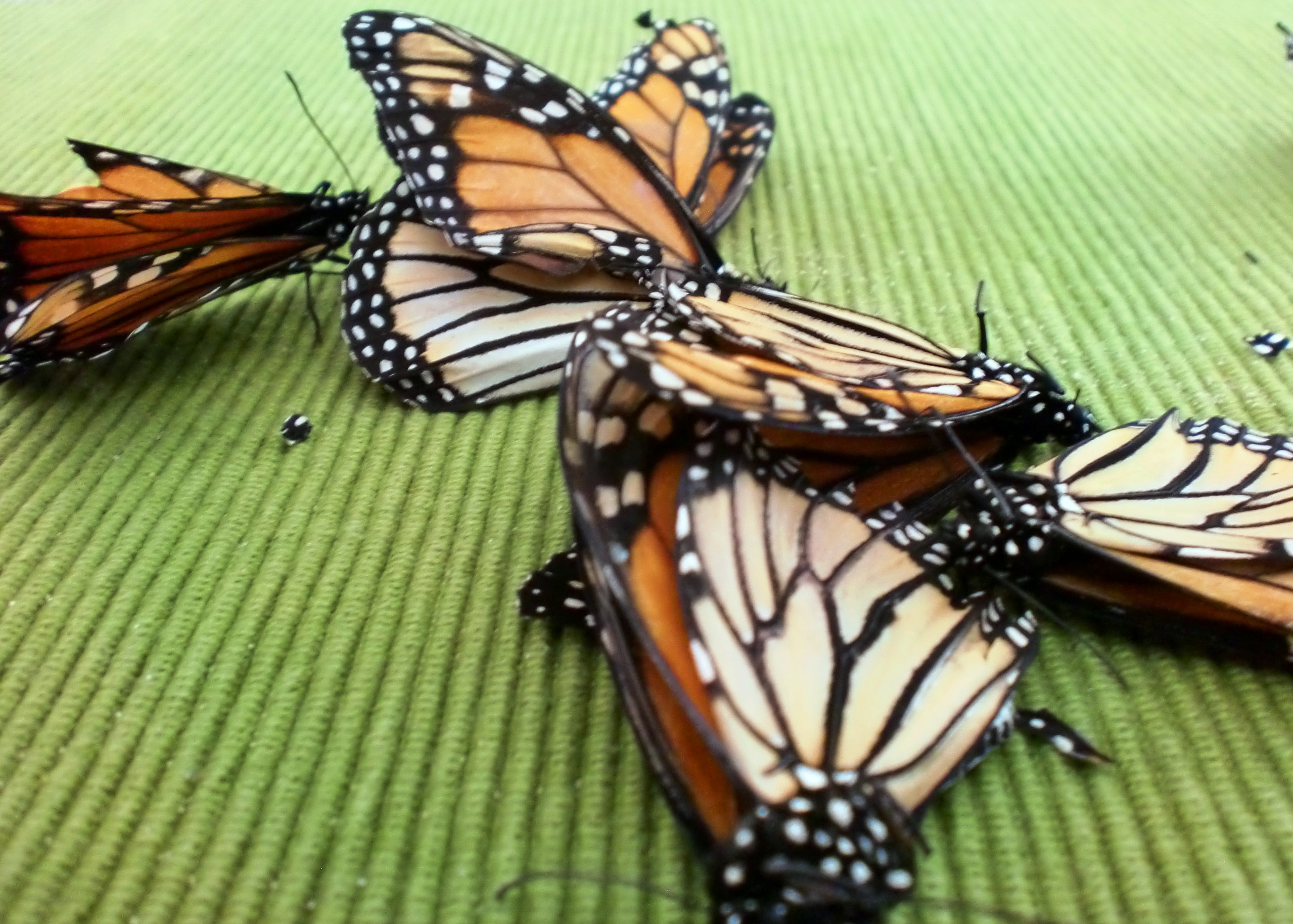 Monarch butterflies are at risk of extinction.