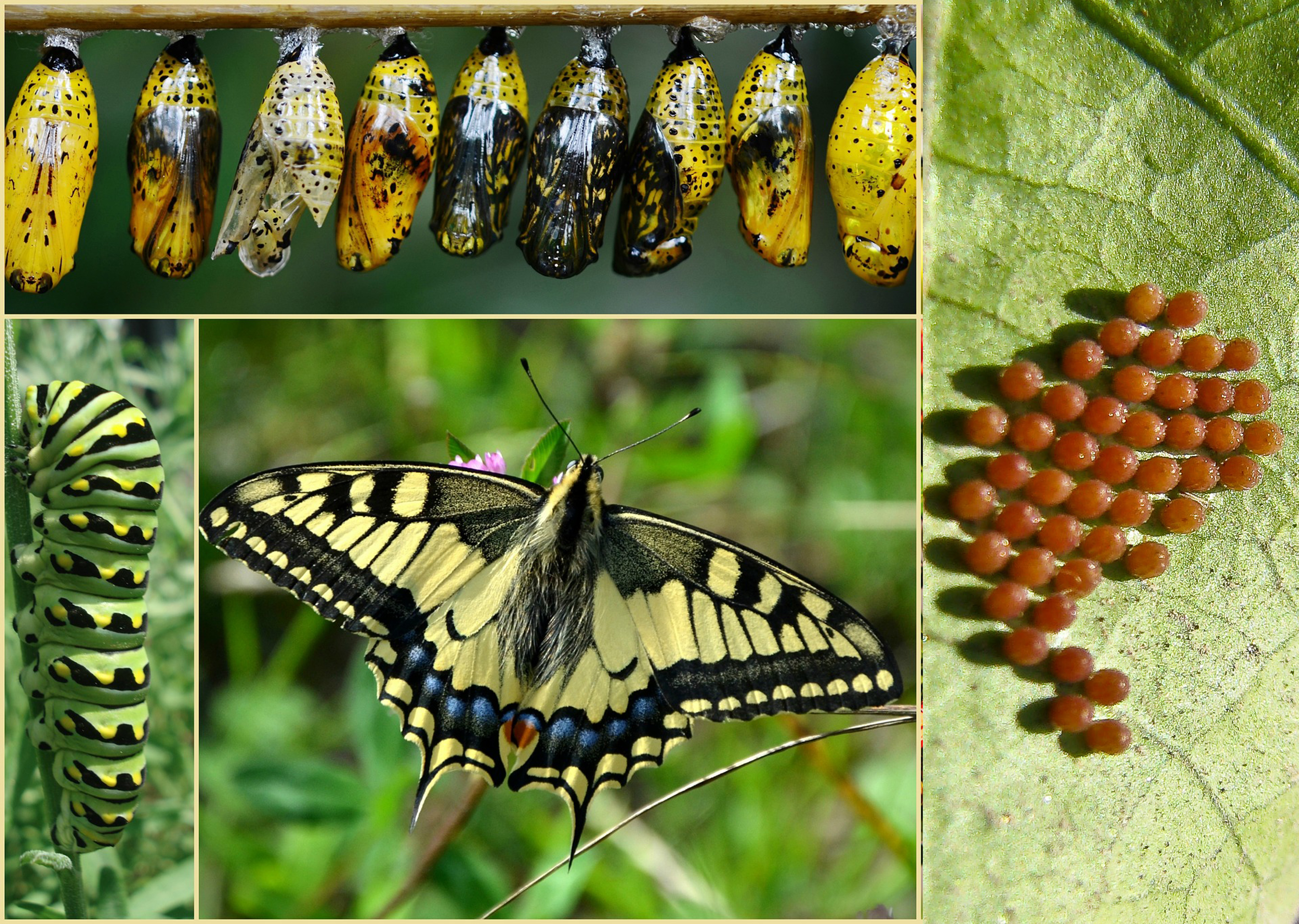 Stages of the butterfly's life cycle.
