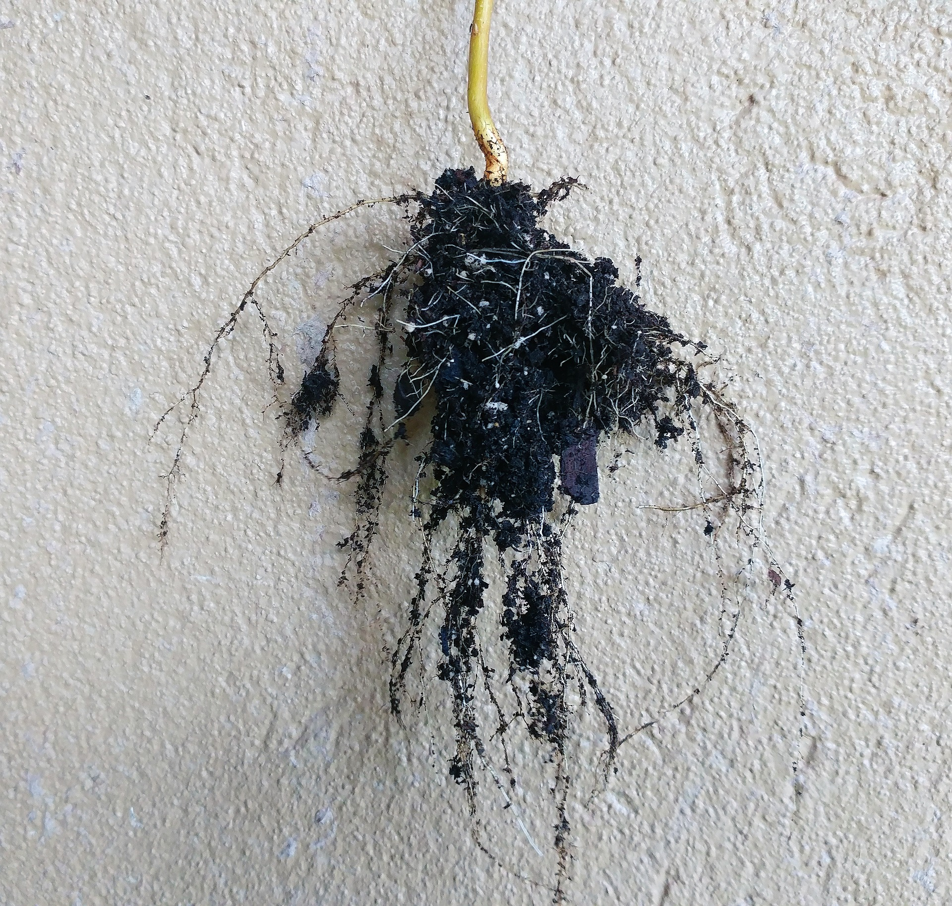 Vigorous roots burrow deep into the soil to access water and nutrients.