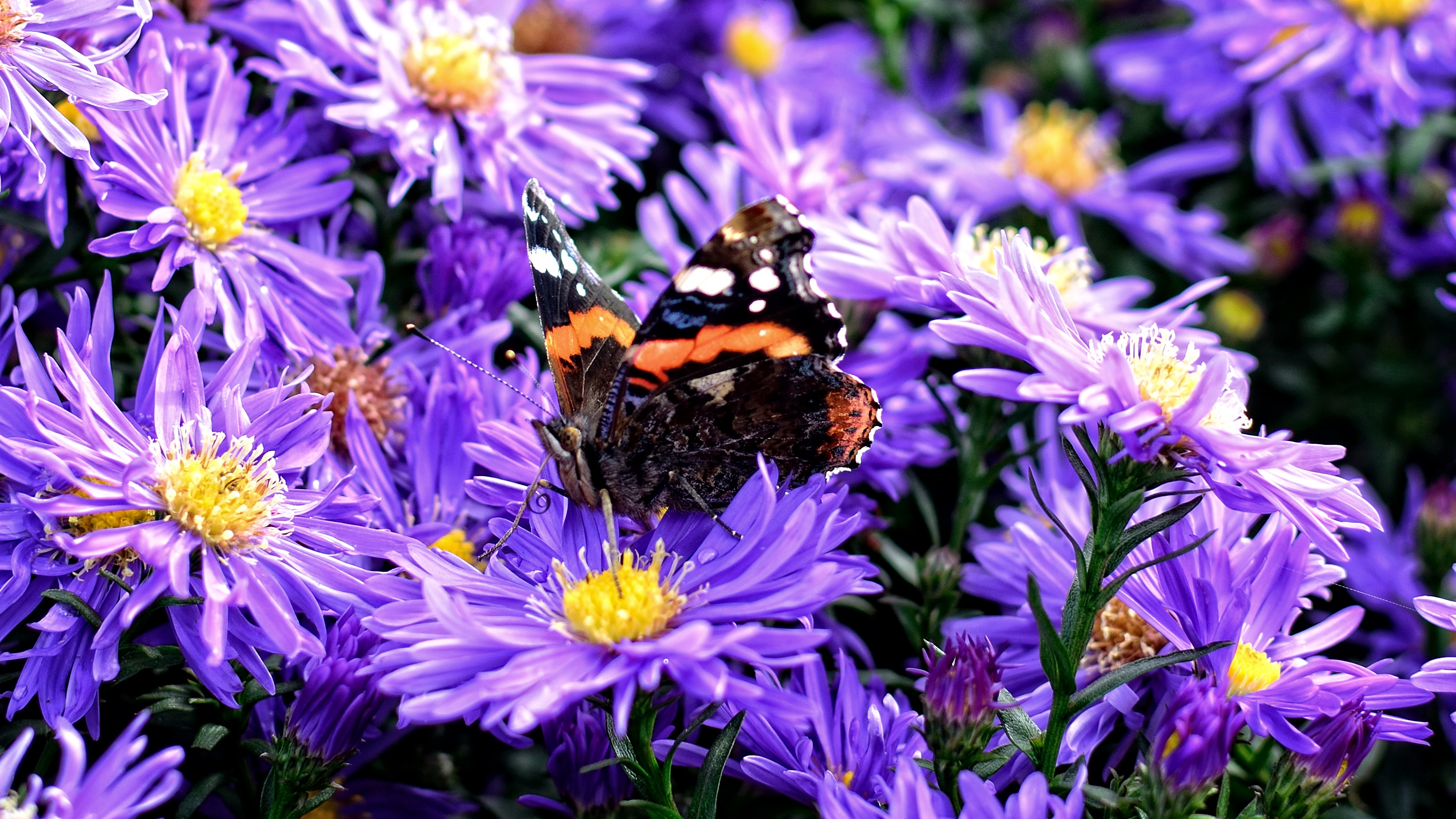 Asters are an excellent fall blooming nectar plant.