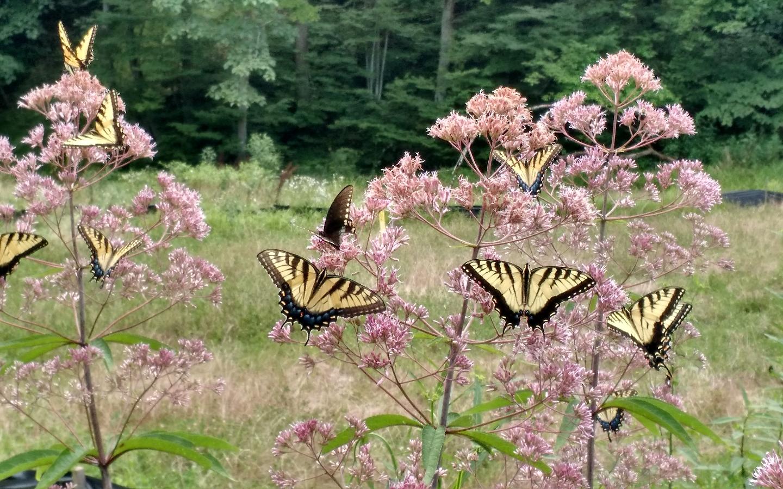 Butterflies on Joe Pye Weed