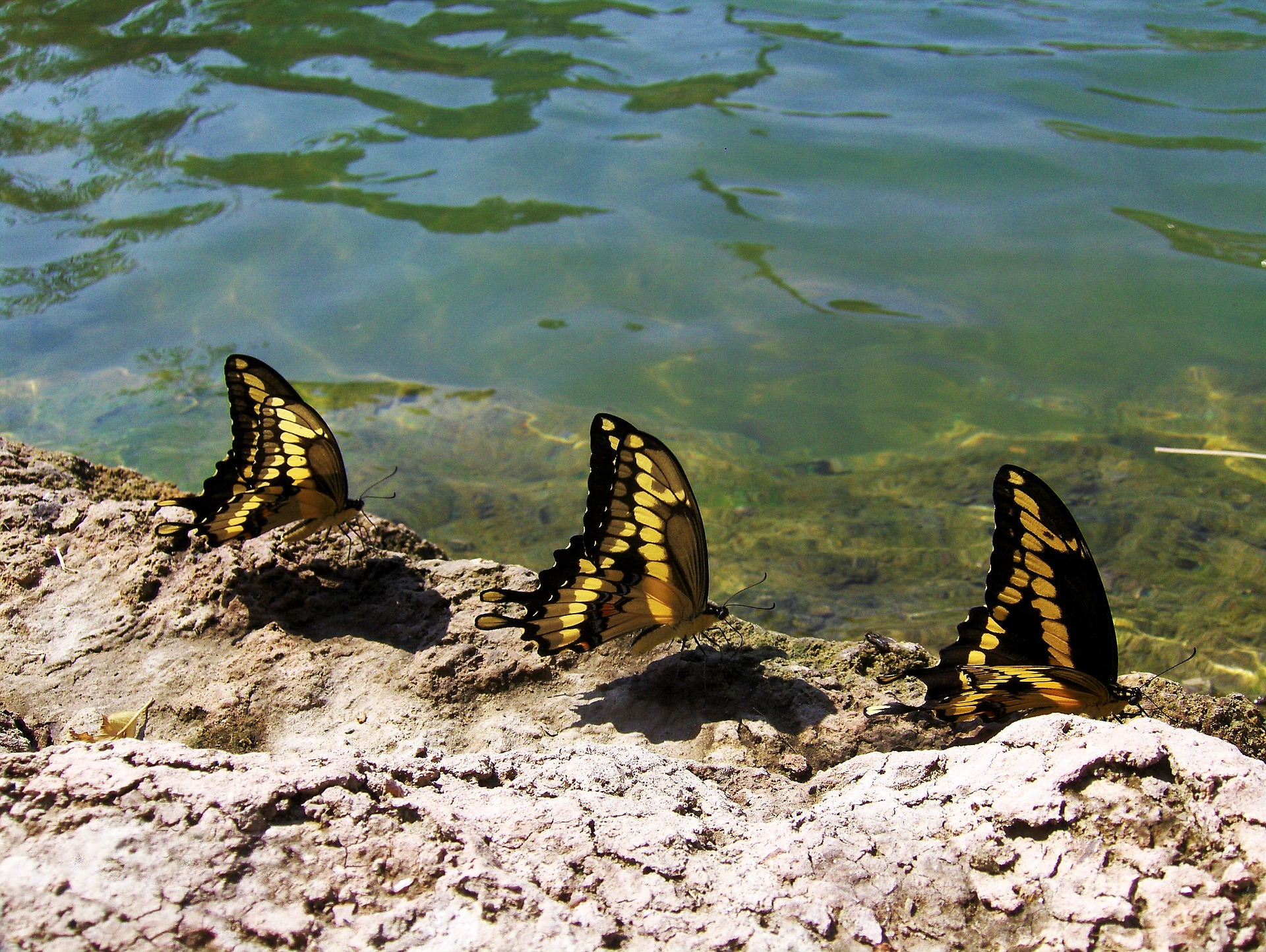 Butterflies drinking at lake's edge.