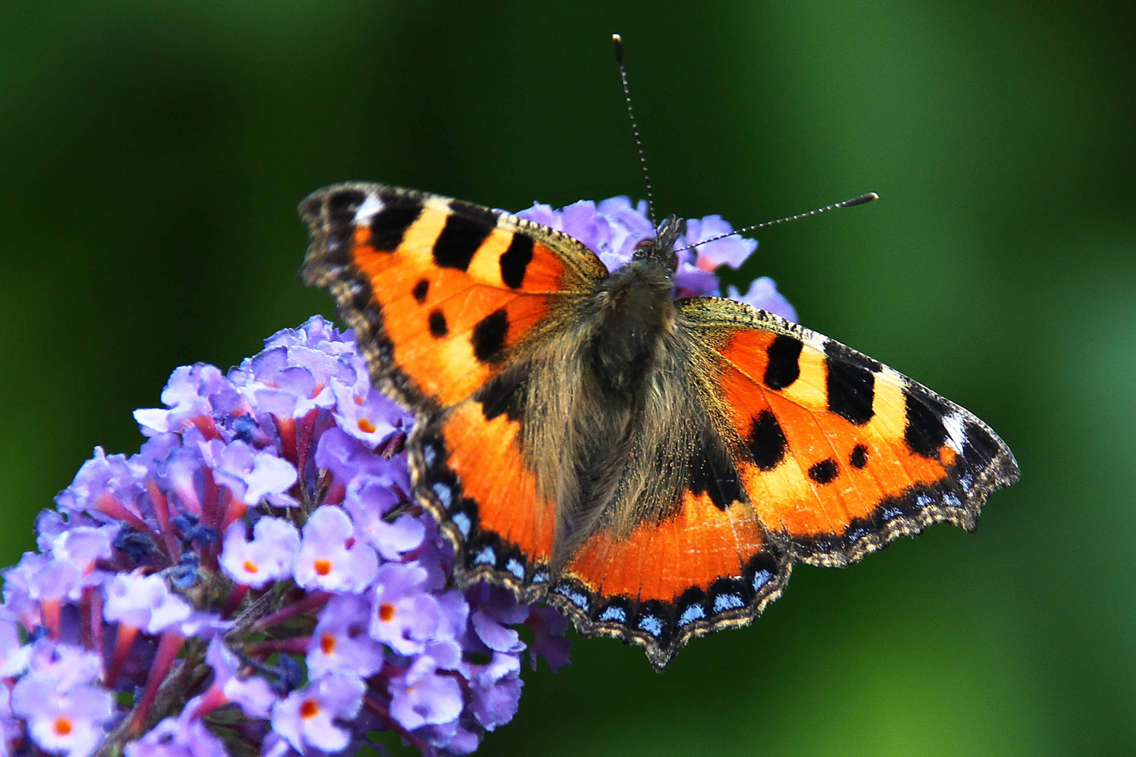 Butterfly Bush is an important nectar plant.